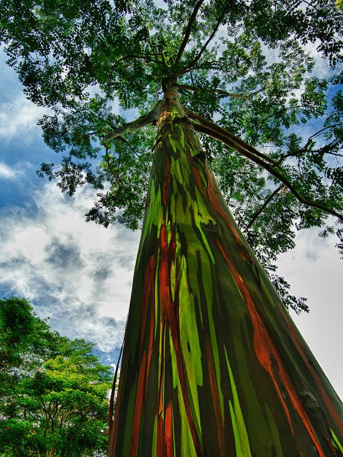 eucalipto-arco-iris-07